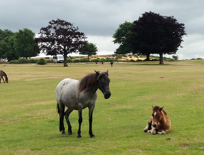 Nationalpark New Forest Lyndhurst Südengland Ponys Pferde