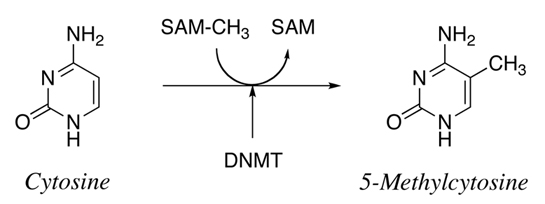 Structure-Based Mechanistic Insights into DNMT1-Mediated