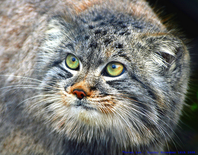 Manul the cat that time forgot the ark in space image credit flickr user law keven publicscrutiny Images