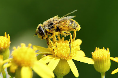 bee pollen, bee pollen benefits, bee pollen health benefits, bee pollen nutrition facts, bee pollen uses, health benefits,