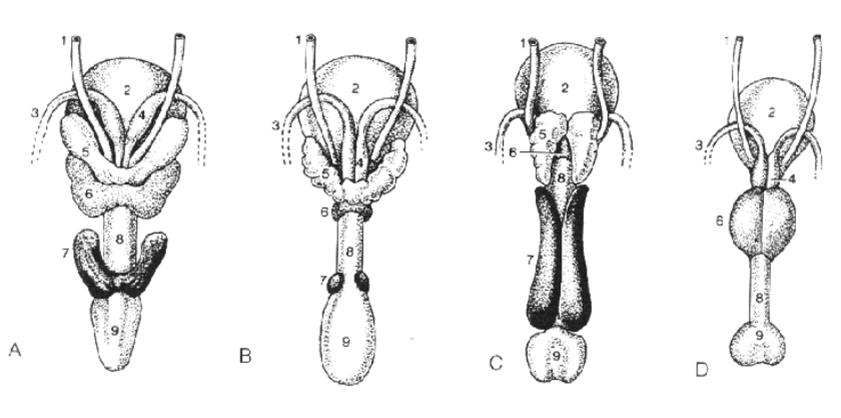 anatomia veterin225ria ii ufv 2012 211rg227os genitais