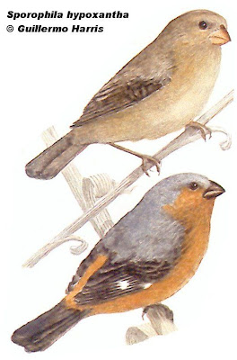 Tawny bellied Seedeater
