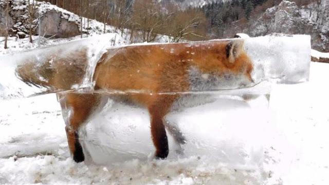 Лисиця вмерзла в лід