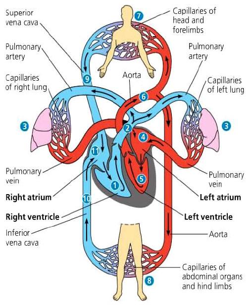 sistem sirkulasi tertutup
