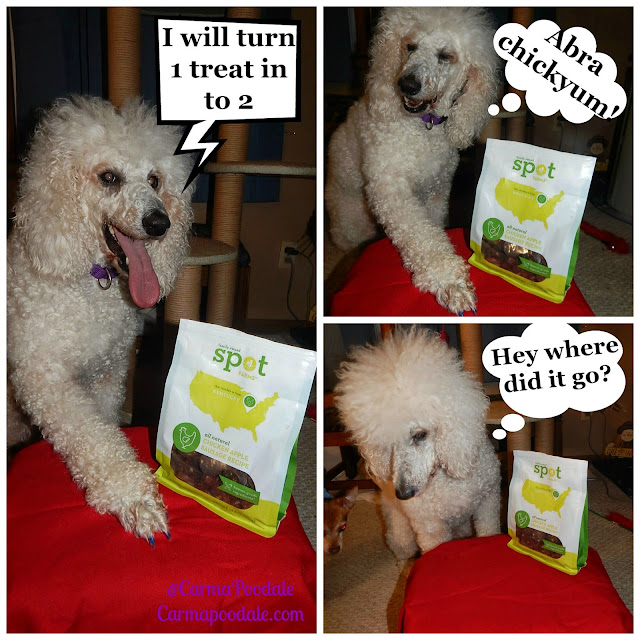 Carma Poodale, poodle doing tricks for Spotfarms chicken treats