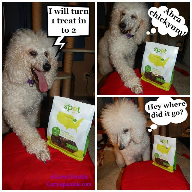 Carma Poodale, poodle doing tricks for Spotfarms chicken treats