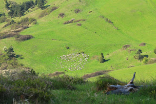 owce w Pieninach