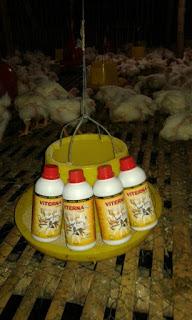 cara cepat menambah bobot ayam broiler, mempercepat masa panen ayam broiler