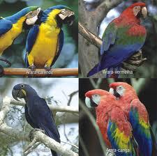 Arara, Aves da Família dos Psitacídeos