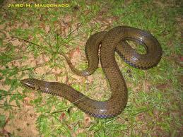 South American pond snake