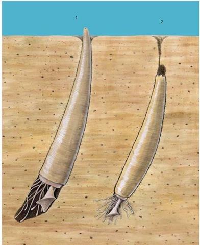 pomatias elegans weichtier 2017