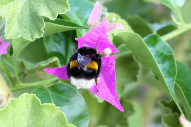Bumblebee II