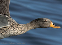 Yellow-Billed Duck in flight Woodbridge Island Vernon Chalmers Canon EOS 7D Mark II