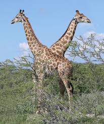 The length of the neck of the giraffe