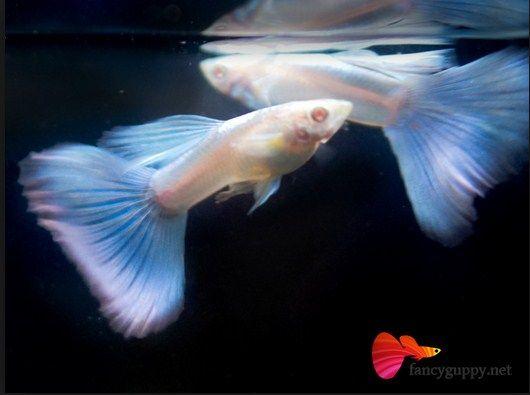 ikan guppy melahirkan