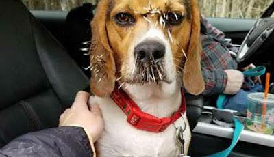 Duri landak di wajah anjing.