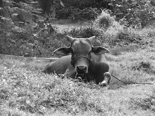 Vietnam, Hoi An countryside, black and white, buffalo