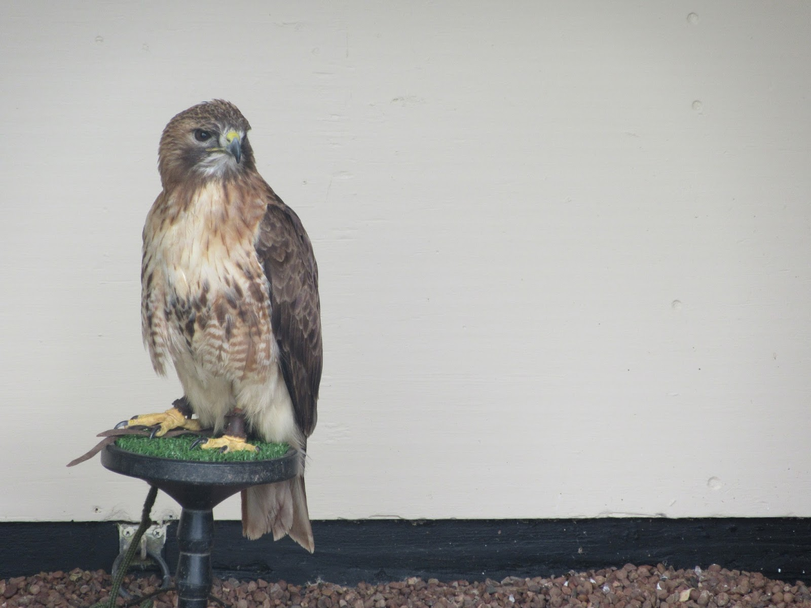 A red tailed buzzard