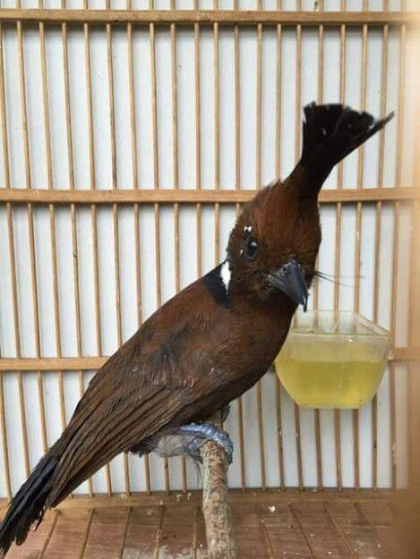 Mengenal Burung Cililin Beserta Cara Perawatannya Dunia Hobi Burung