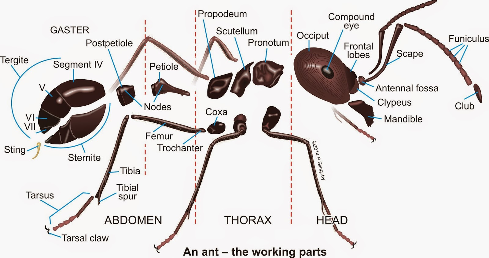 diagram of an ant life cycle worksheet jl audio wiring body parts monarch butterfly