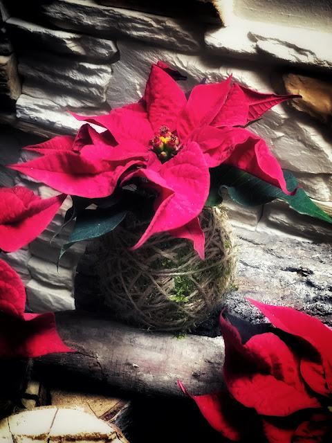 Świąteczna kokedama z gwiazdą betlejemską.