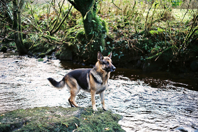 35 mm photo of a German Shepherd standing on a mossy rock by the river.