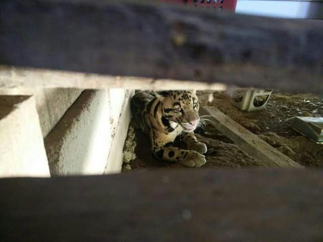gambar Harimau Dahan Berehat Bawah Rumah Peneroka-