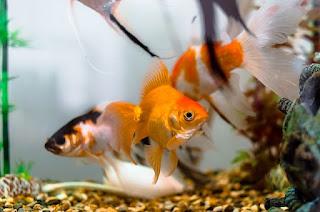 Rahasia Cara Membuka Usaha Bisnis Ikan Hias yang Cepat Berhasil