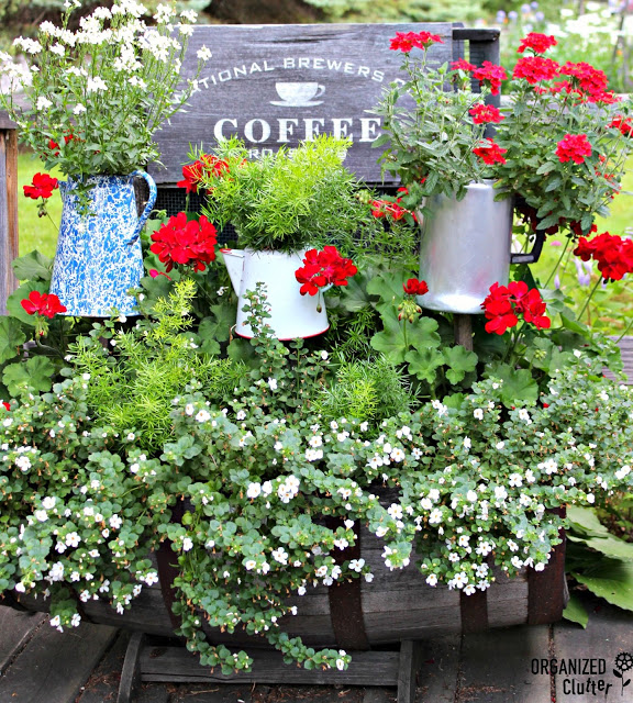Coffee Pot Planters and Sign with Geraniums, Bacopa, Verbena, Nemesia and Asparagus Ferns