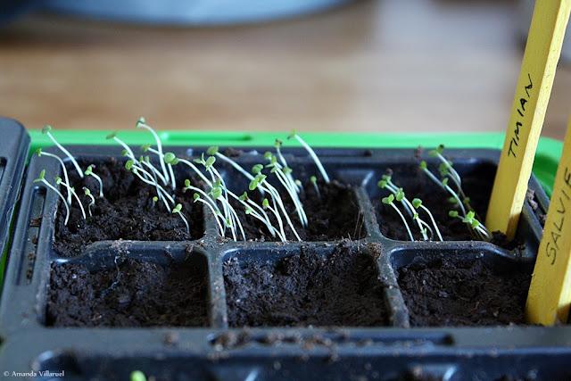 Thyme seedlings grow fast
