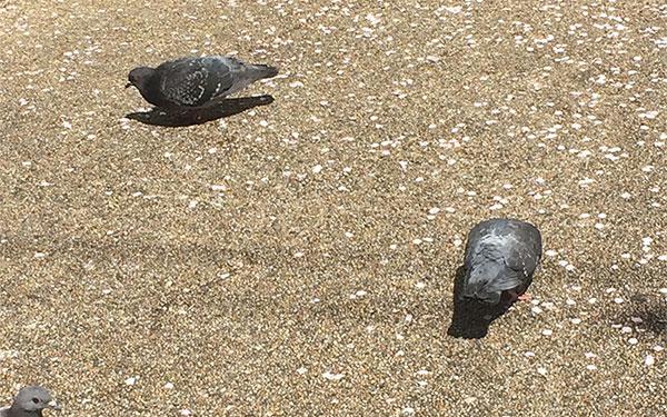 pigeons-sakura