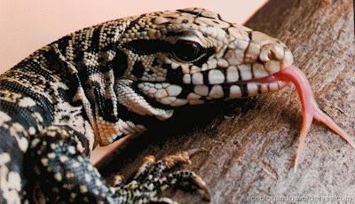 Resultado de imagem para lagarto teiu