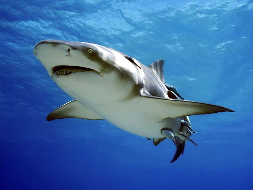 اسماك القرش تحت الماء dangerous-shark.jpg