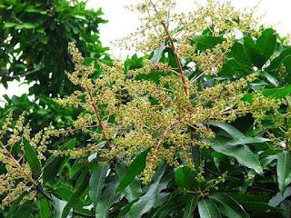 merawat-pohon-mangga-berbunga.jpg