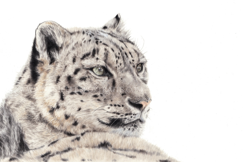13-Snow-Leopard-Danielle-Fisher-Realistic-Pet-and-Wildlife-Portraits-www-designstack-co
