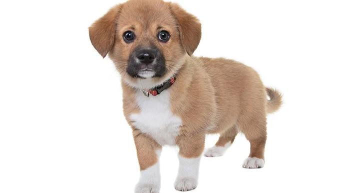Beaglier Dog Breed