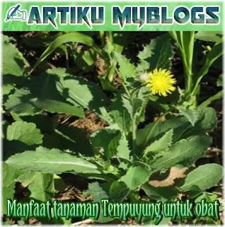 Manfaat dan khasiat tanaman Tempuyung untuk obat