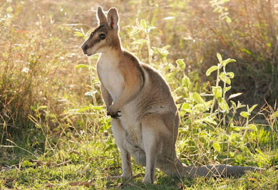 Wallaby - animals That Start with W