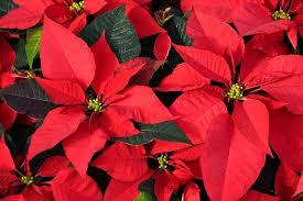 LA FLOR DE NOCHEBUENA Flor de la Navidad