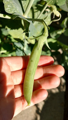 Typical Cascadia Pea
