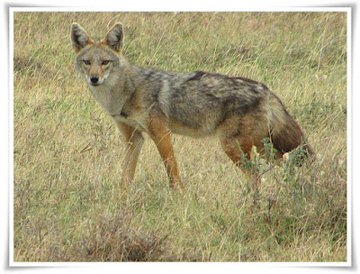 Jackal [Canis aureus] Facts