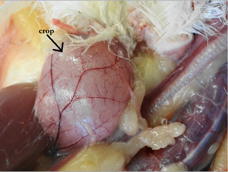Animal Science Chicken Dissection: Gastrointestinal System