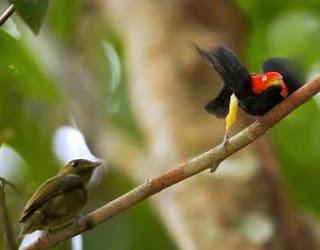 enis burung yang memiliki kebiasaan menari unik dan memukau. Aktivitas ini dilakukan pada musim berkembang-biak. Tujuannya adalah untuk merayu burung betina dalam mencari pasangan.