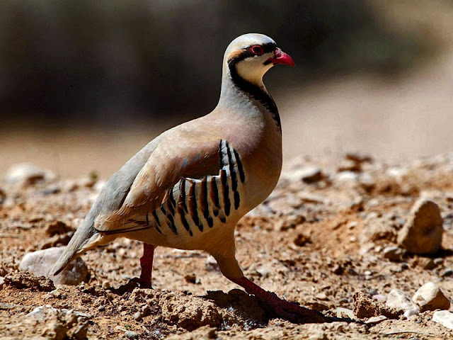 Chukars are a kind of partridge imported from India. They thrive in the desert around Calico.