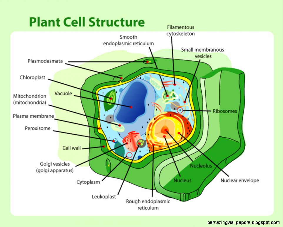 Simple Plant Cell | Amazing Wallpapers