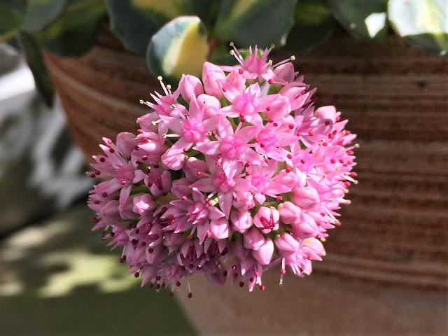 Fetthenne mit pinken Blüten