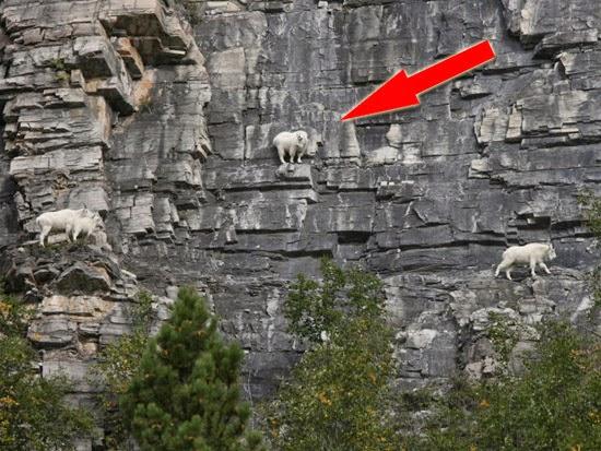 Cabra das montanhas no precipício