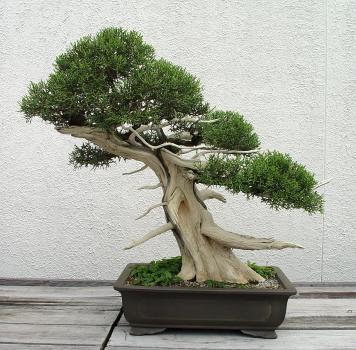 Ficus Benjamina Shari Bonsai Style