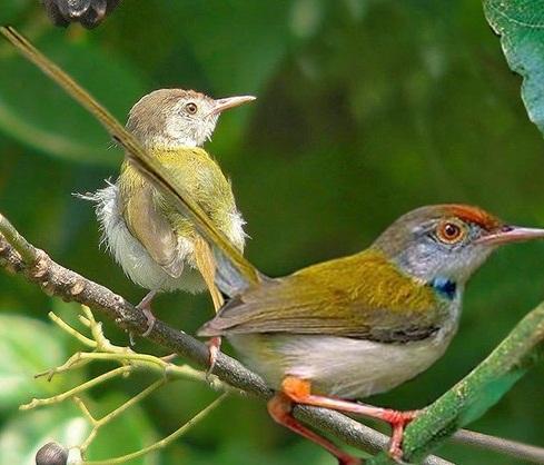 5 Tips Dan Cara Mengetahui Burung Prenjak Lumut Jantan Yang Akurat Dari Segi Fisik Kicau Mania