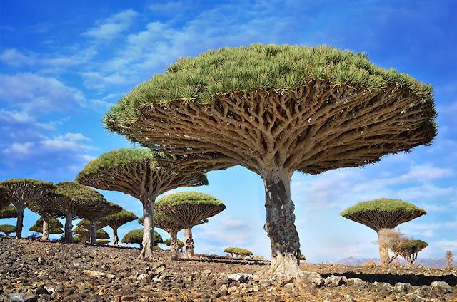 Los árboles de sangre de dragón